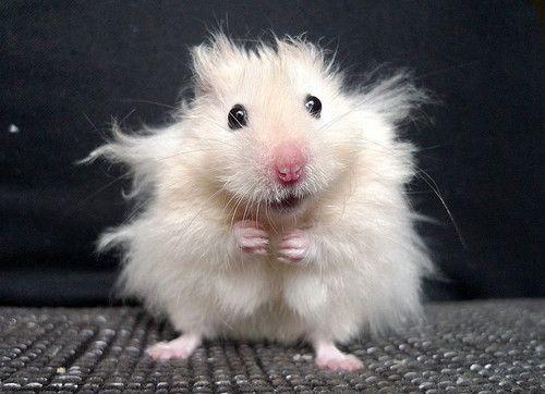 pin_hamster_pic-2