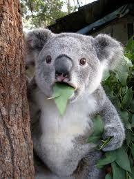 koala whaaa