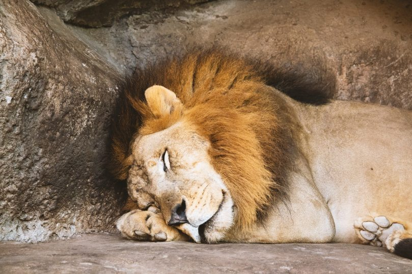Photo of a lion sleeping next to a large rock wall, his head resting on his paws.